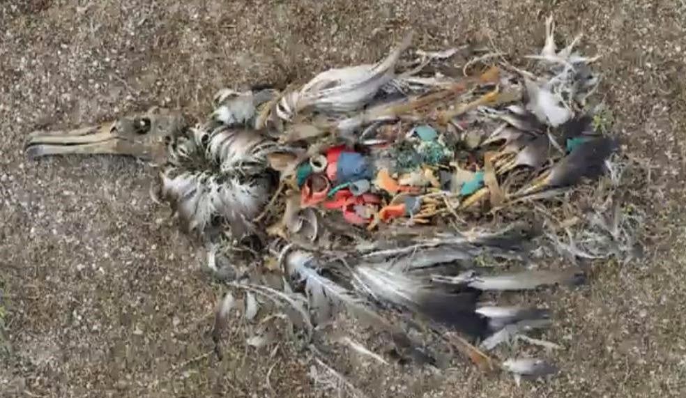 Exemple d'oiseau mort d'avoir ingérer des détritus - Kervoyal en Damgan
