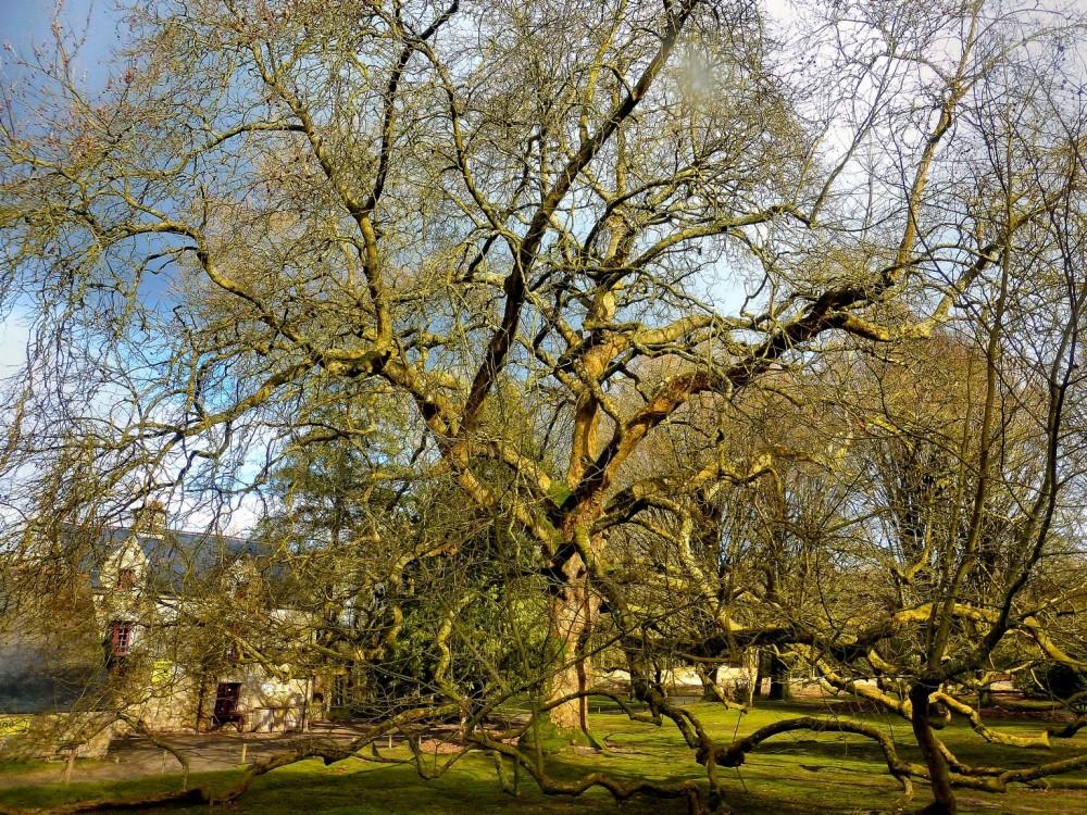 Le platane pleureur d'Orient âgé de 300 ans mesurant 30 mètres pour 40 d'envergure. Magique en toute saison!