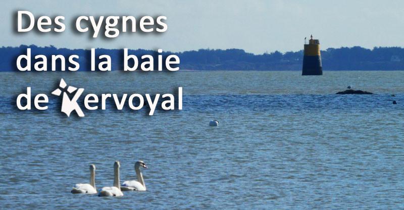 Des cygnes dans la baie…