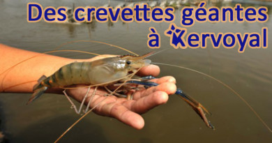 articles crevettes géantes à kervoyal en damgan