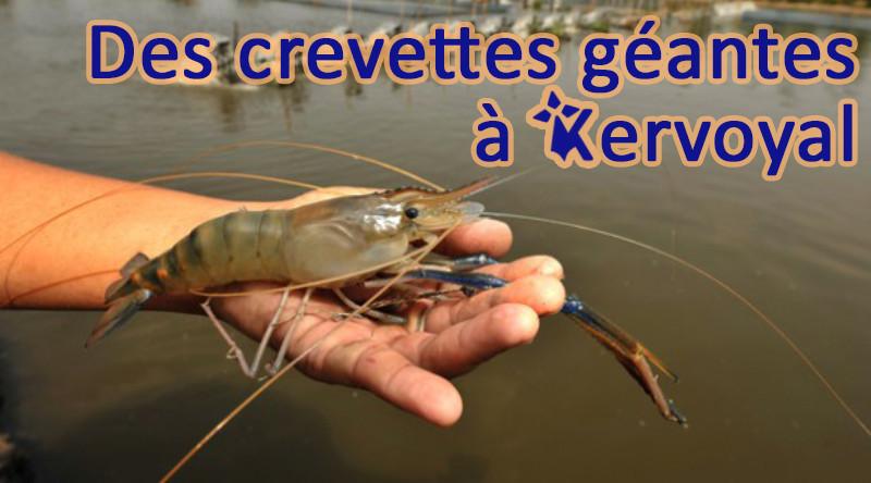 Des crevettes géantes à Kervoyal!