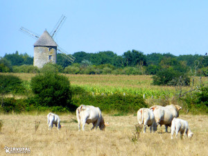 vaches et moulin de kervoyal en damgan
