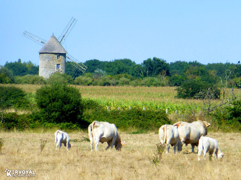 vaches et moulin de kervoyal en damgan