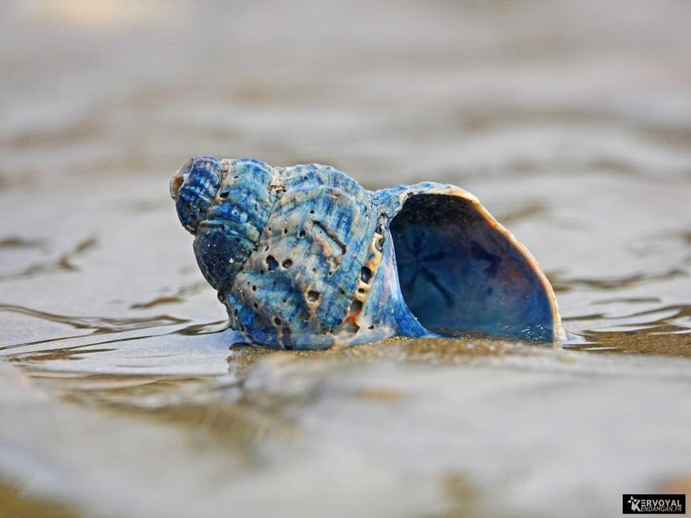 bulot bleu de kervoyal