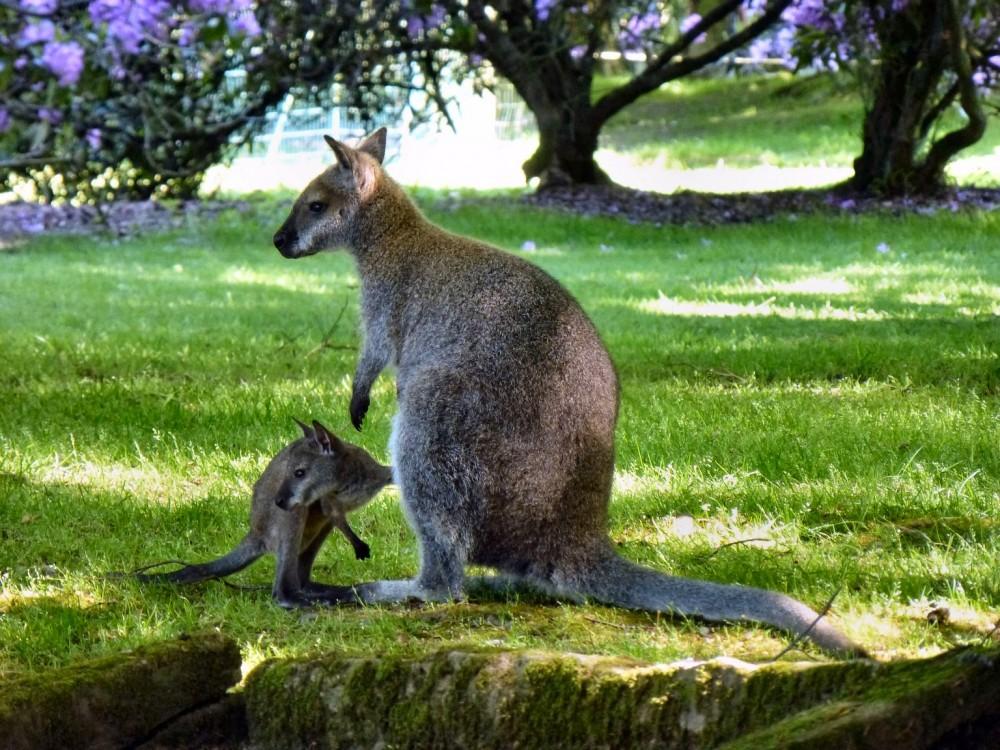 Bébé wallaby cherchant ses clés avant de sortir