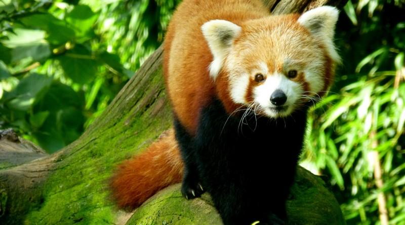 Panda roux à Branféré