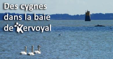 article 28 janvier 2018 des cygnes à kervoyal