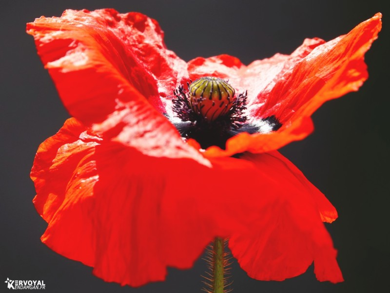 coquelicots kervoyal damgan fleur