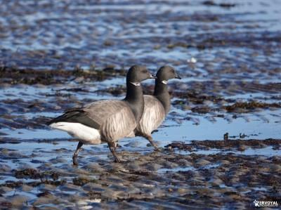 Les oiseaux de kervoyal damgan automne 2020 (19)