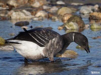 Les oiseaux de kervoyal damgan automne 2020 (21)