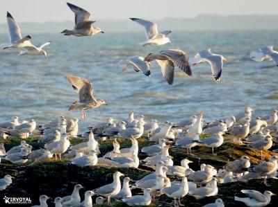 Les oiseaux de kervoyal damgan automne 2020 (4)