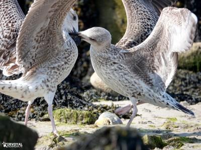 Les oiseaux de kervoyal damgan automne 2020 (6)