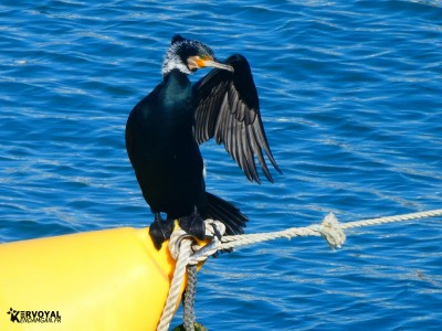 cormoran propre